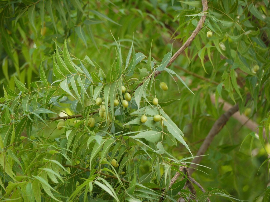 Extract of neem plants