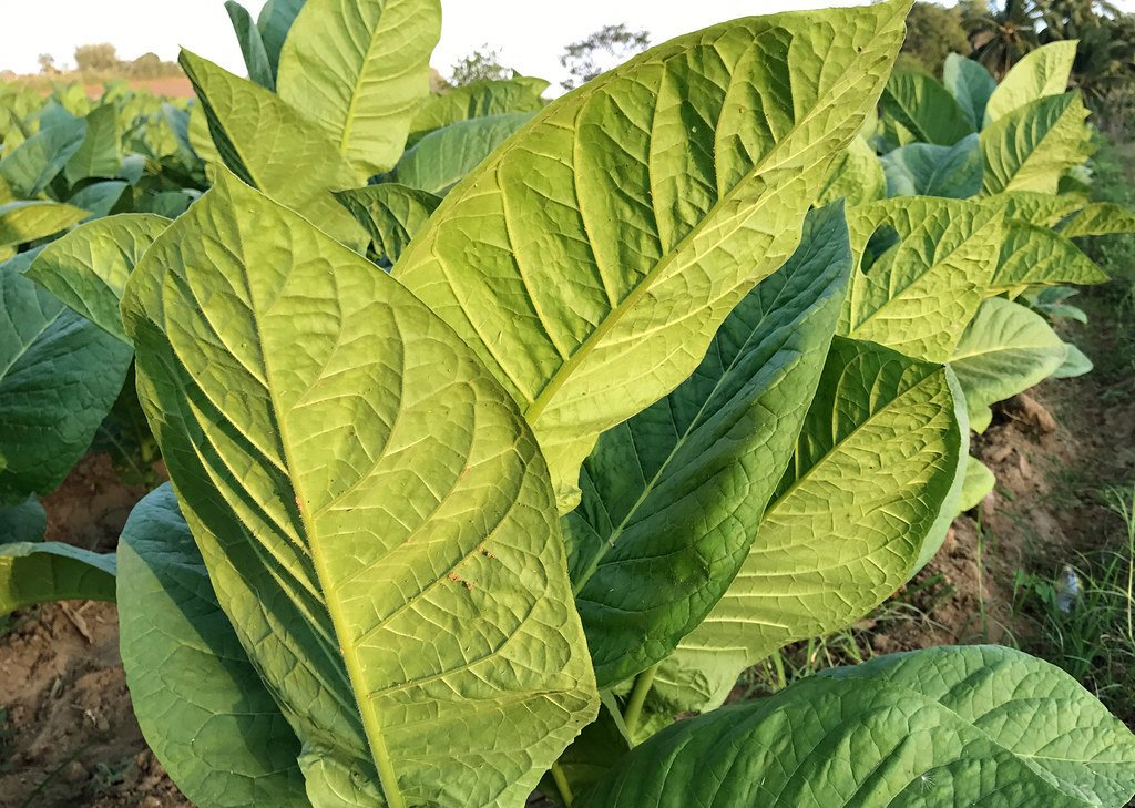 Extract of tobacco leaf