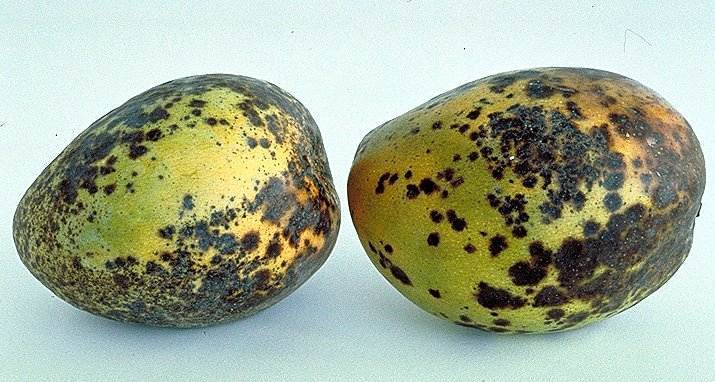 Anthracnose disease of mango
