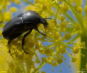 Beetles in fennel cultivation