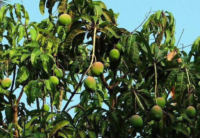 How to care for Mango Trees