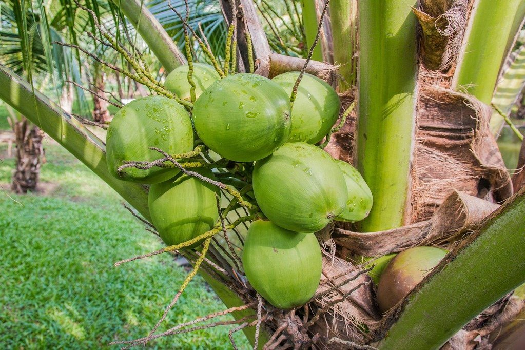 Step-by-step how to grow Coconut Tree