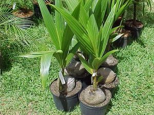 how to grow Coconut Tree