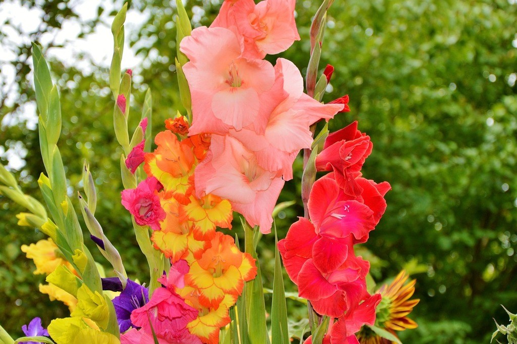 How to grow gladiolus