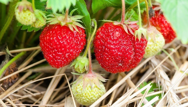 How to care for the strawberry
