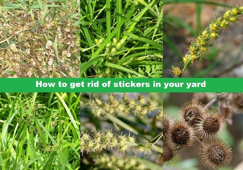 How to get rid of stickers in your yard