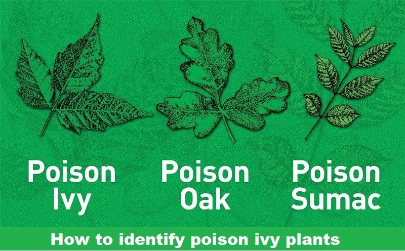 How to identify poison ivy plants