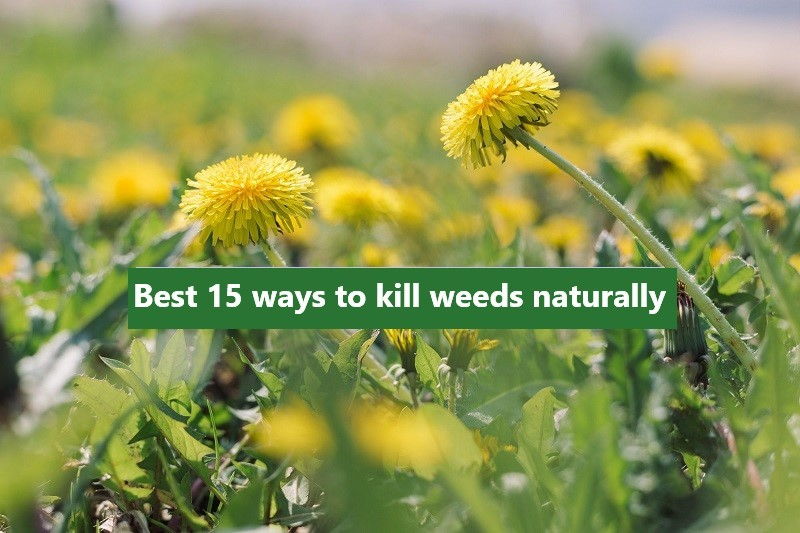 best ways to kill weeds naturally