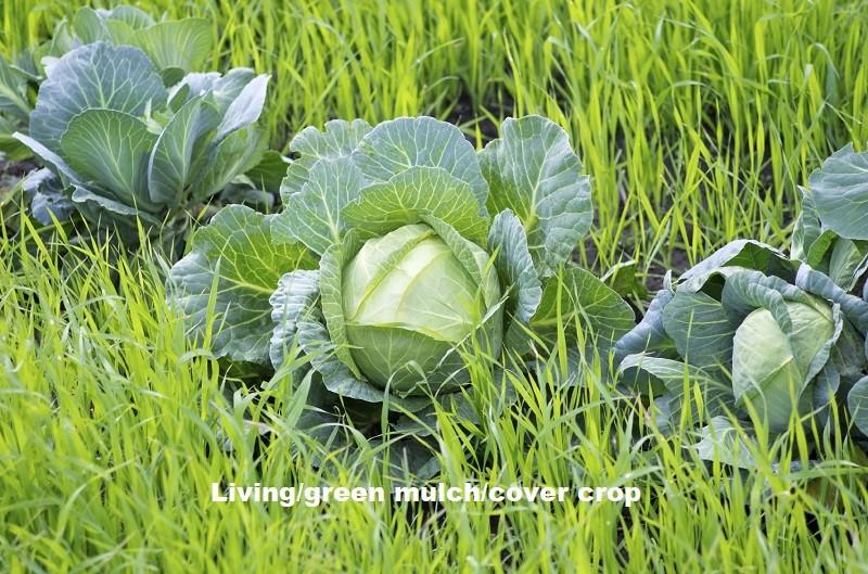 living/green mulch/cover crop