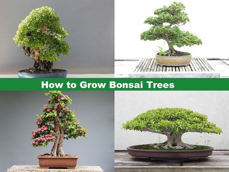 How to Grow Bonsai Trees care for