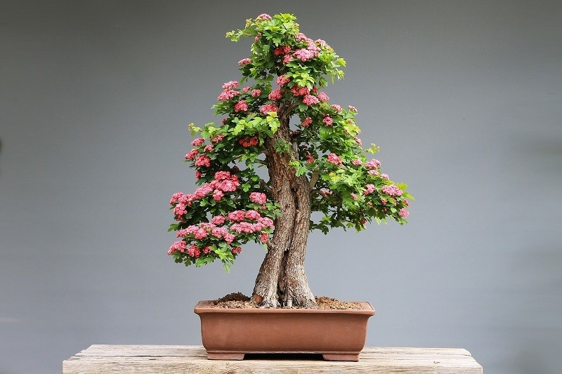 How to care for bonsai trees