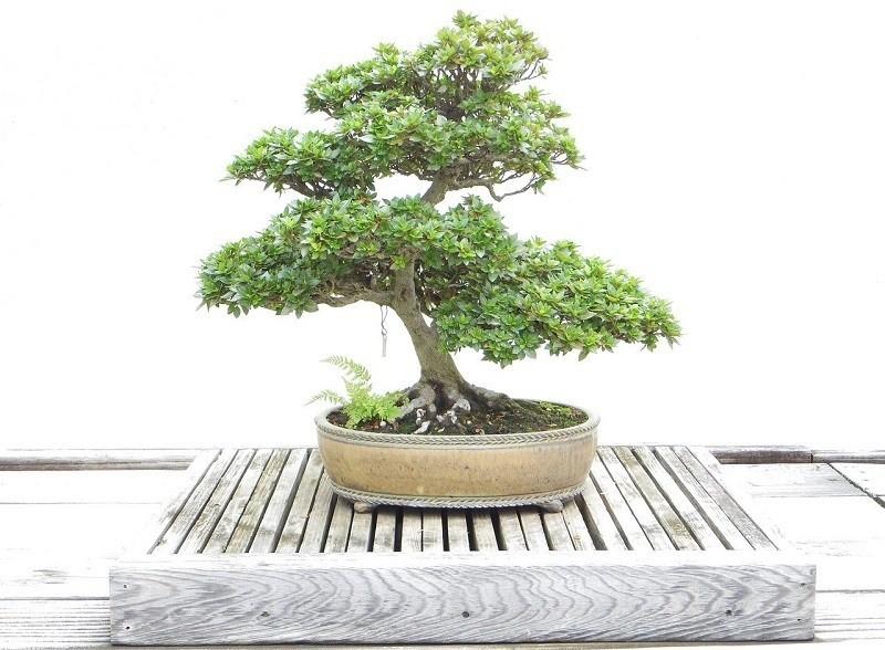 Pot for bonsai tree