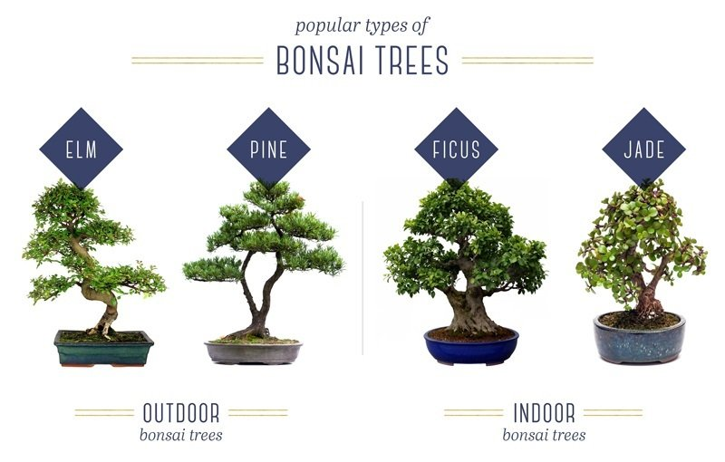 Types of trees for bonsai