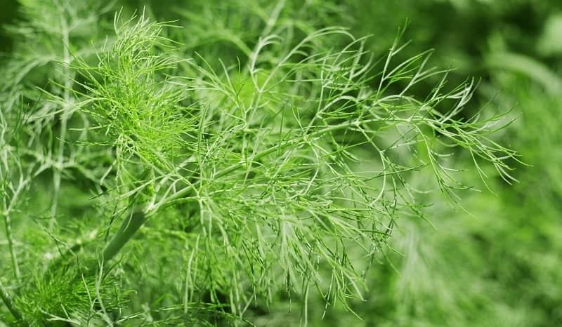 How to trim dill plant