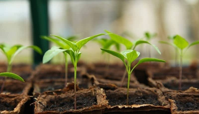 Seedling care for vegetable gardening